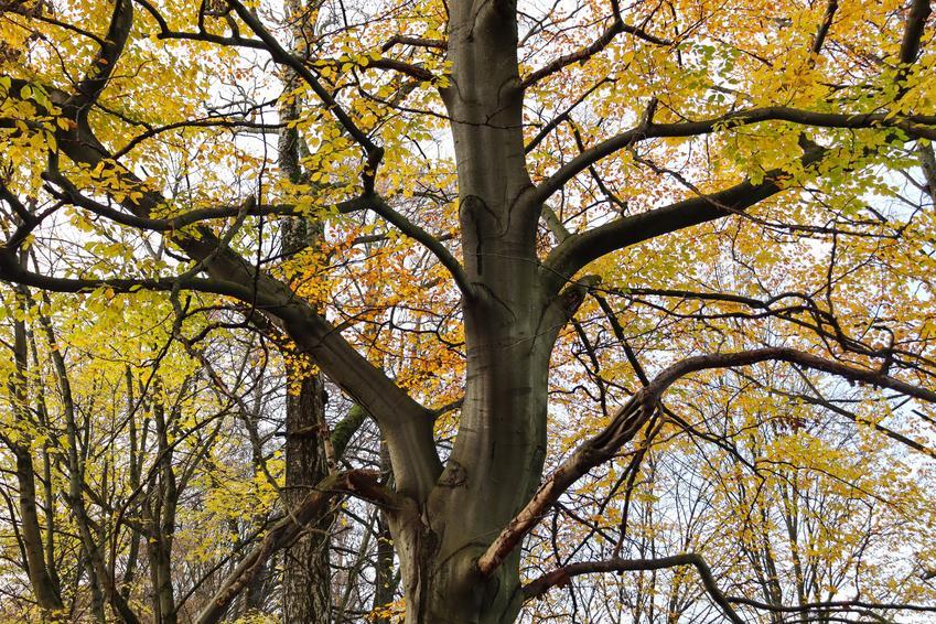 Drzewo olsza szara, Alnus incana na tle nieba, a także uprawa i sadzenie