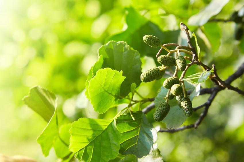 Drzewo olsza szara, Alnus incana i zbliżenie na owoce oraz uprawa i pielęgnacja