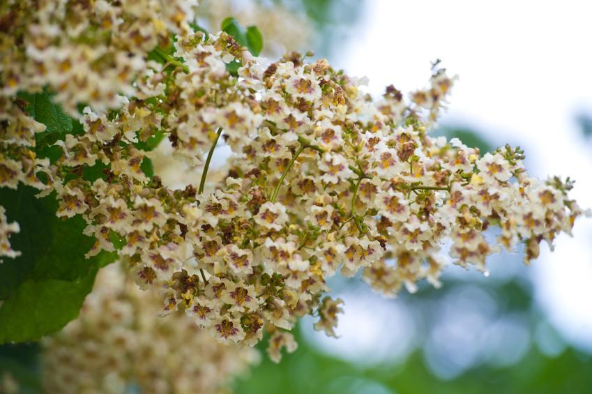 Drzewo surmia wielkokwiatowa w czasie kwitnienia, a także uprawa i pielęgnacja