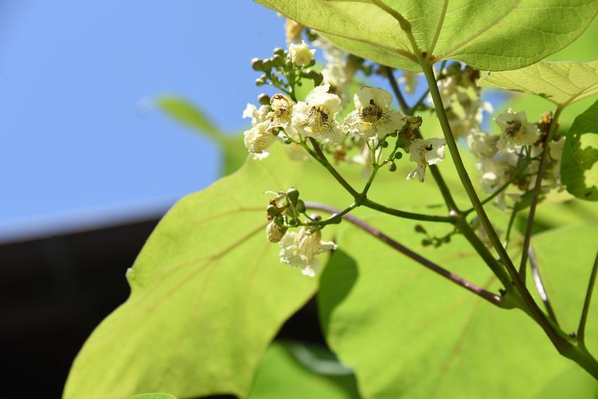 Drzewo surmia żółtokwiatowa w czasie kwitnienia, a także uprawa i pielęgnacja