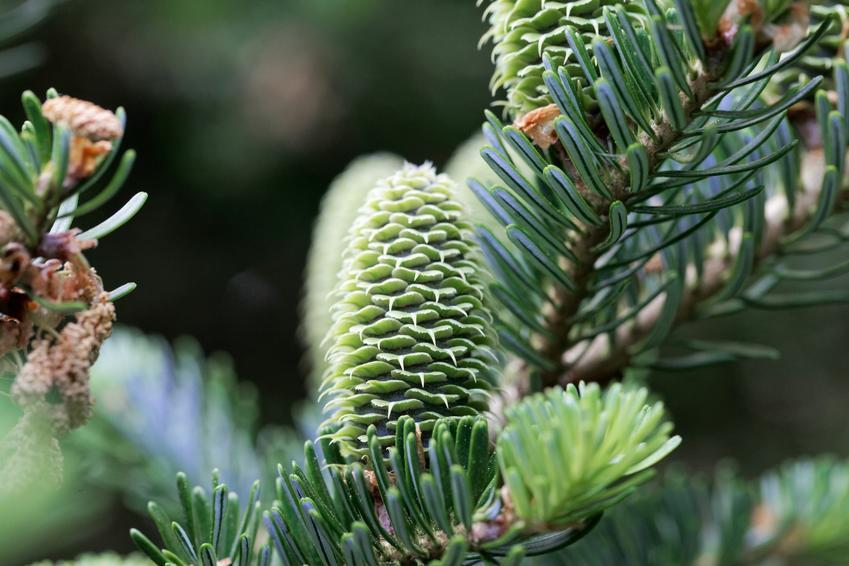 Drzewo jodła frasera, Abies fraseri i zbliżenie na gałąź, a także uprawa