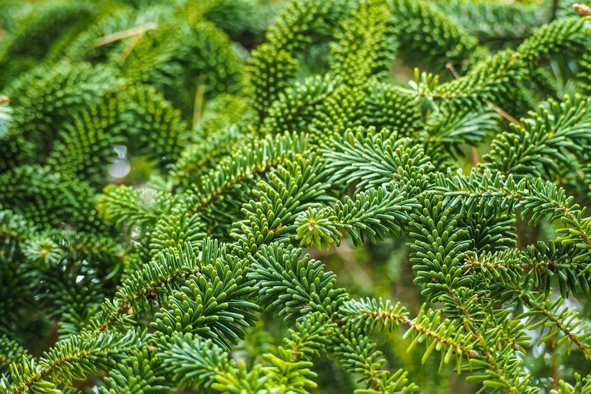 Drzewo jodła frasera, Abies fraseri w ogrodzie, a także uprawa i pielęgnacja