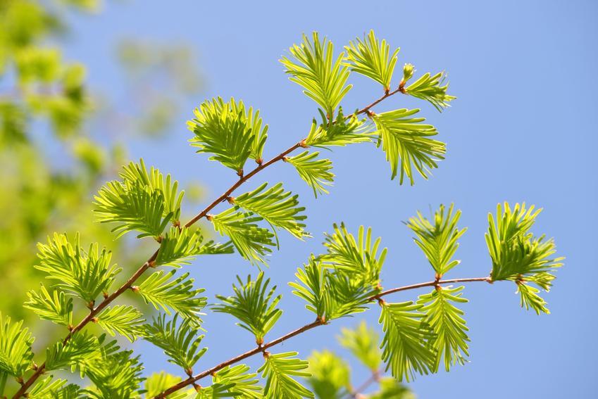 Drzewo metasekwoja chińska, Metasequoia glyptostroboides i zbliżenie na gałąź, a także uprawa