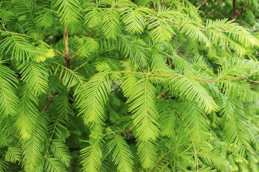 Drzewo metasekwoja chińska, Metasequoia glyptostroboides w ogrodzie, a także uprawa i pielęgnacja