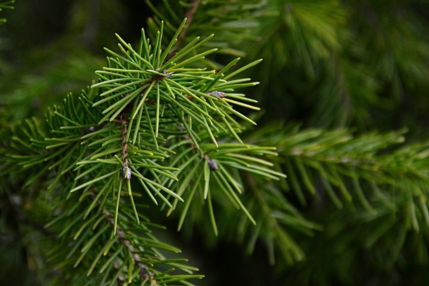 Drzewo świerk syberyjski, Picea obovata w ogrodzie, a także uprawa i pielęgnacja