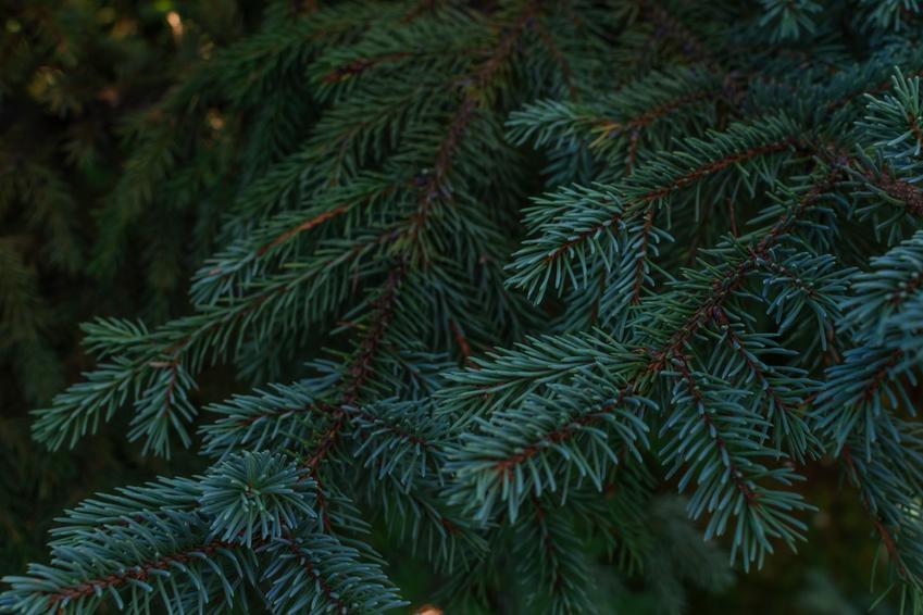 Drzewo świerk syberyjski, Picea obovata i zbliżenie na gałąź, a także uprawa