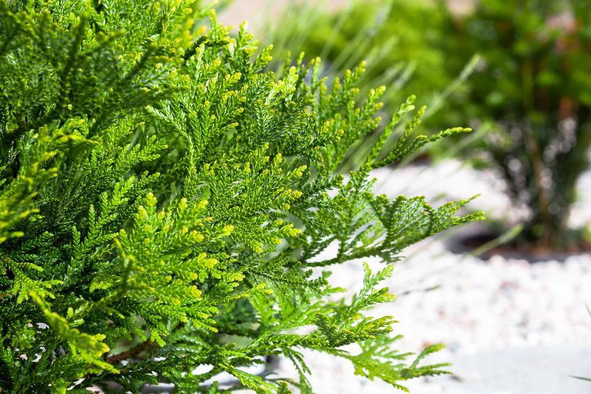Drzewo żywotnik japoński tuja w ogrodzie, a także uprawa i pielęgnacja