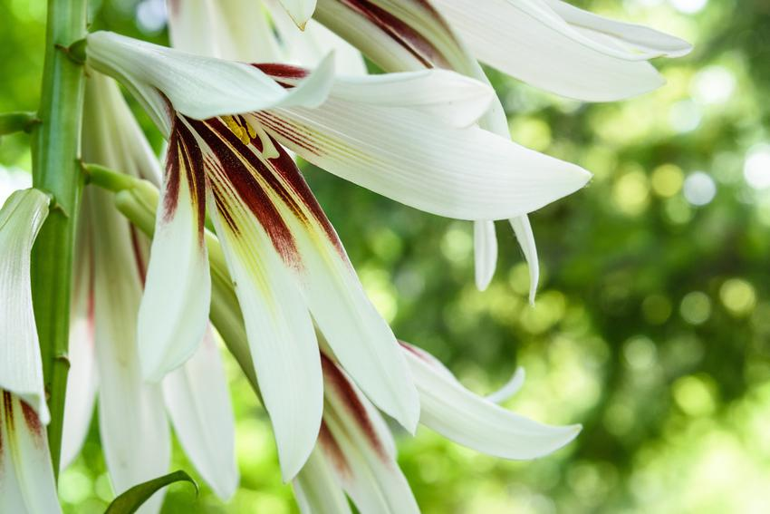 Kwiat lilia himalajska, Cardiocrinum giganteum w czasie kwitnienia, a także uprawa i pielęgnacja
