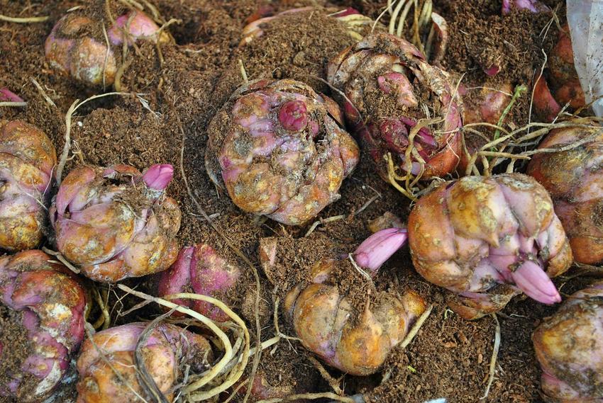 Cebule lilii należy sadzić w specjalnych koszyczkach. Sadzenie cebuli lilii nie jest trudne.