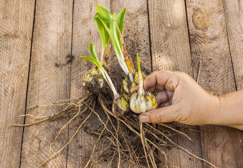 Kiedy sadzić cebule lilii? Cebule lilii mogą być już trochę rozwinięte, kiedy sadzi się je na stanowisko.