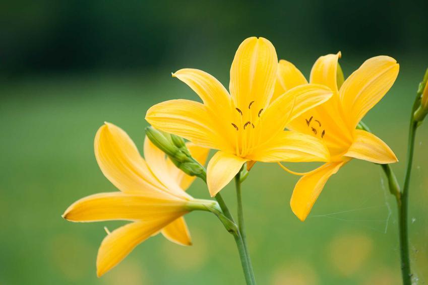 Kwiat liliowiec Stella Hemerocallis o żółtym kolorze na tle nieba. Uprawa liliowca Stella, czyli podlewanie, cięcie i zimowanie, nie jest wymagająca.