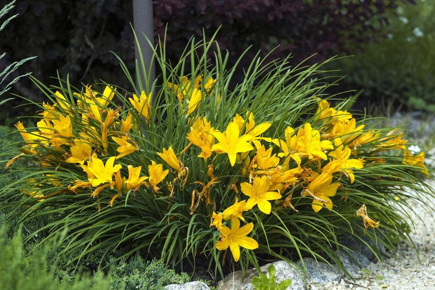Liliowiec 'Stella' (Hemerocallis 'Stella') to liliowiec żółty. Opis, wymagania i najlepsze stanowisko dla rośliny.