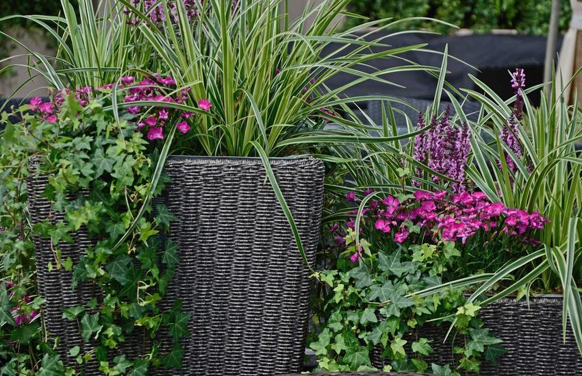 Trawa ozdobna manna mielec nadaje się do uprawy w doniczce, chętnie rośnie obok kwitnących roślin ozdobnych, ale jej pielęgnacja wymaga więcej uwagi i podlewania.