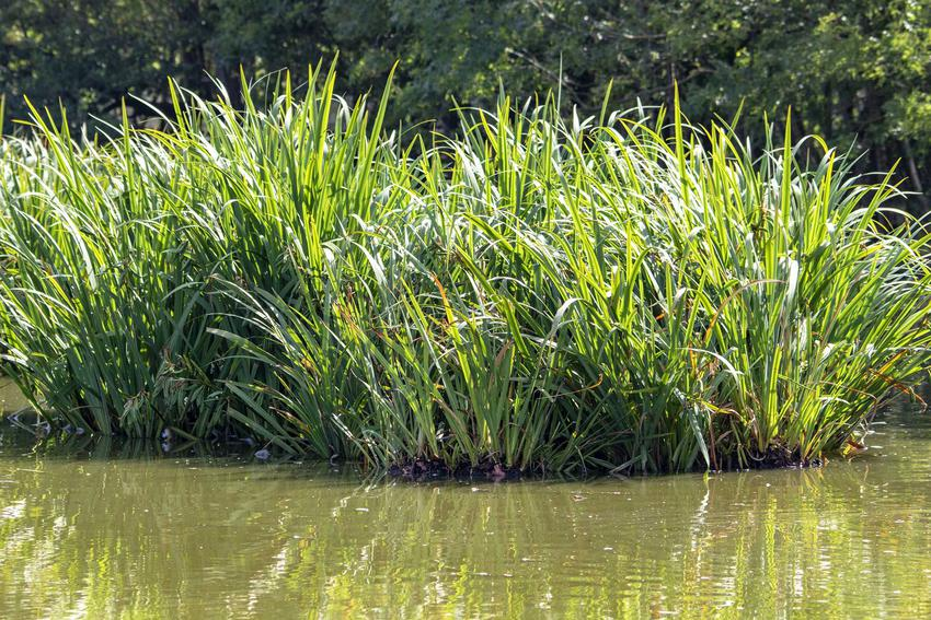 Manna mielec - Glyceria maxima to trawa tworząca duże kępy. Manna mielec o gęstych, zielonych źdźbłach, rosnąca nad wodą.