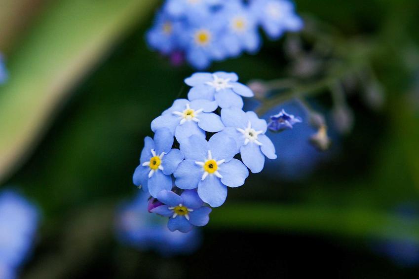 Piękne niebieskie kwiaty niezapominajki alpejskiej są piękne. Odmiany niezapominajki alpejskiej mogą być niebieskie, różowe lub białe.