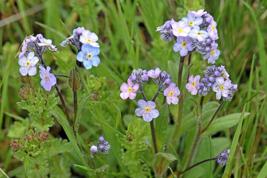 Kwiaty niezapominajki alpejskiej Myosotis alpestris na tle trawy wspaniale wyglądają zwłaszcza wiosną. Stanowisko dla niezapominajki nie powinno być słoneczne.