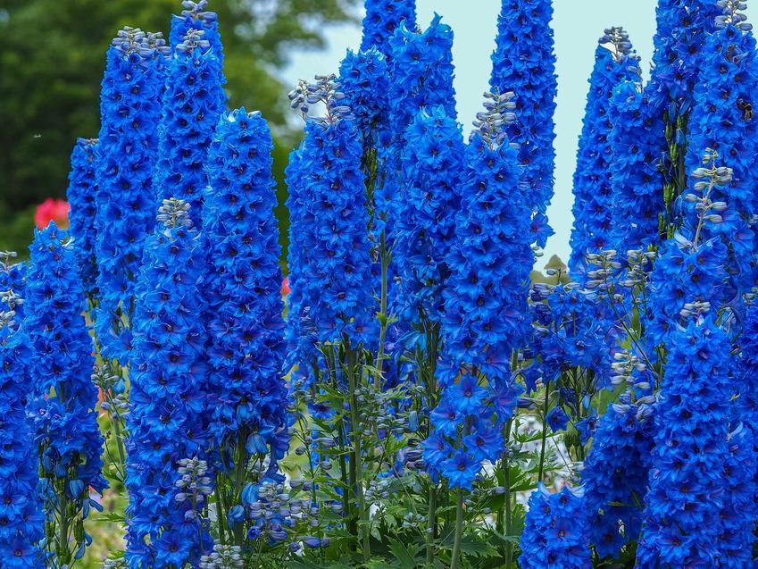 Ostróżka ogrodowa o niebieskich kwiatach rosnąca w ogrodzie w dużym skupisku. Ostróżka ogrodowa ma niewielkie wymagania.