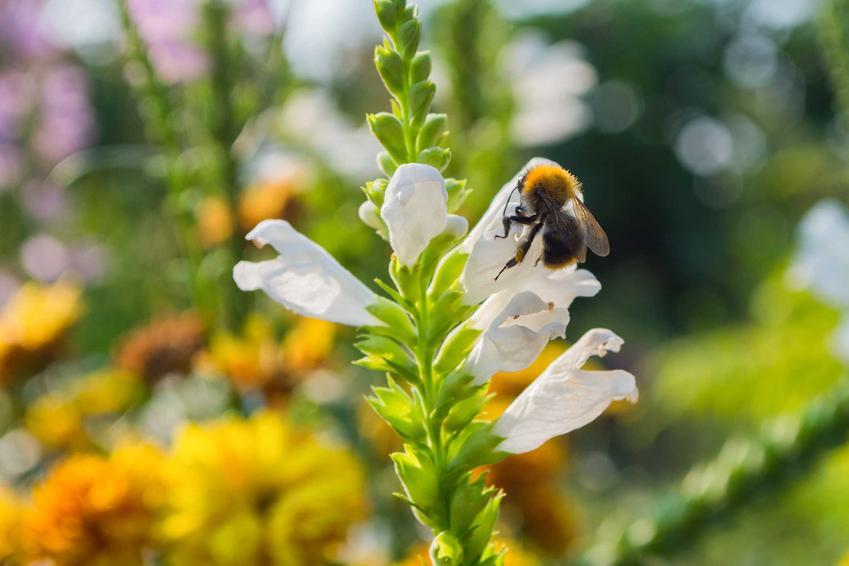 Kwiaty odętki wirginijskiej z bliska, w tle inne rośliny rabatowe o podobnych wymaganiach i ciekawych kwiatostanac.