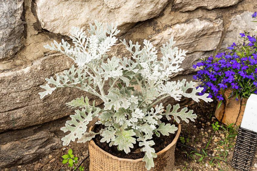Starzec popielny o srebrnych liściach w doniczce oraz opinie, opis i charakterystyka rośliny