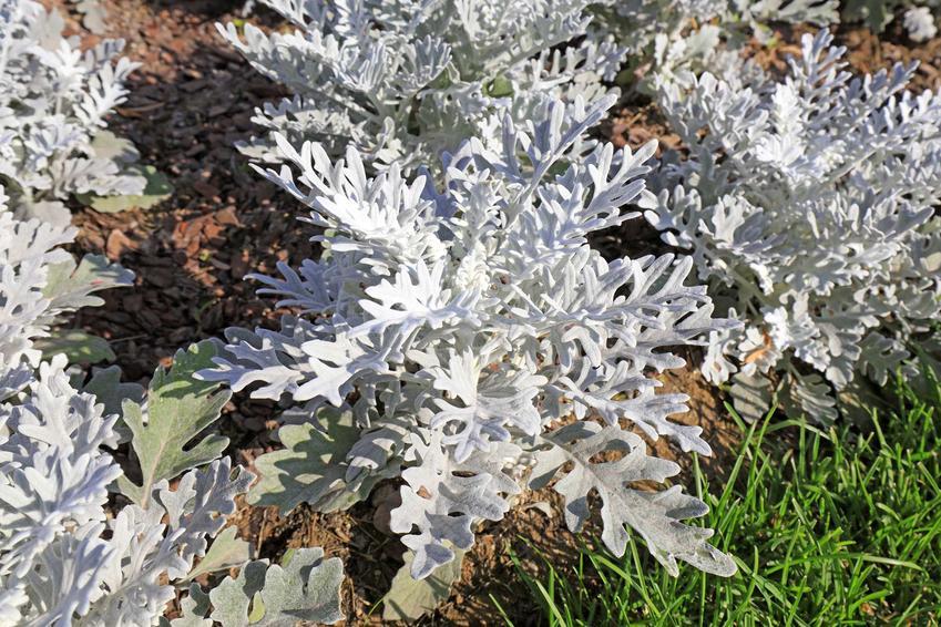 Starzec popielny, starzec srebrzysty w ogrodzie w dużej grupie oraz charakterystyka i zastosowanie rośliny