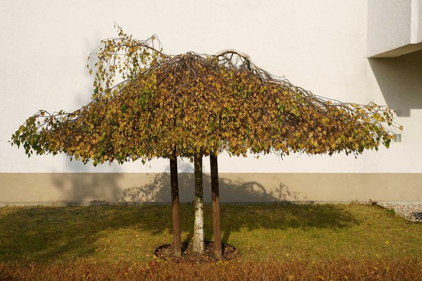 Brzoza płacząca Youngii - uprawa, pielęgnacja oraz stanowisko i wymagania drzewa