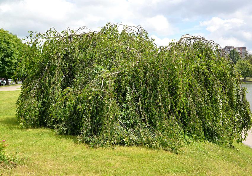 Duża brzoza płacząca Betula pendula w parku (brzoza biała), a także informacje o jej uprawie, pielęgnacji i stanowisko
