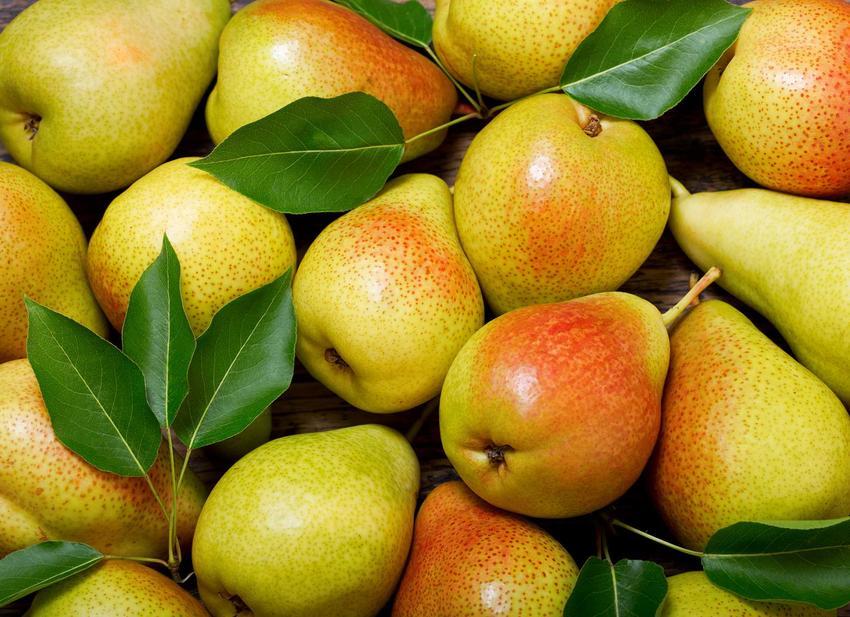 Odmiany gruszy 'Konferencja' - owoce o żółtej skórce z rumieńcem, a także opis innych odmian gruszek