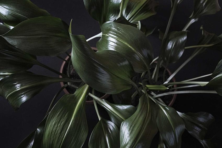 Liście rośliny aspidastra wyniosła o zielonym kolorze blaszki a także wymagania kwiatu doniczkowego