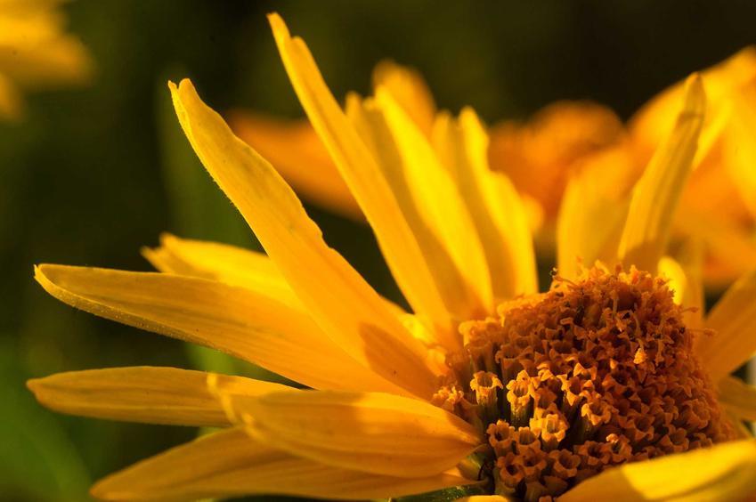 Nasiona słoneczniczka szorstkiego widoczne na zdjeciu, a także siew i sadzonki słoneczniczka