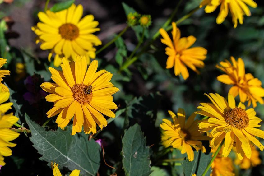 Słoneczniczek szorstki w ogrodzie w dużej grupie o żółtych kwiatach oraz infiormacje o pielęgnacji i zdjęcia