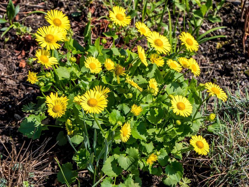 Kwiat omieg wschodni, Doronicum orientale w czasie kwitnienia, a także uprawa i pielęgnacja