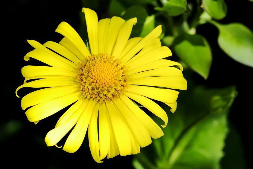 Bylina omieg wschodni, Doronicum orientale i zbliżenie na kwiat, a także uprawa i sadzenie