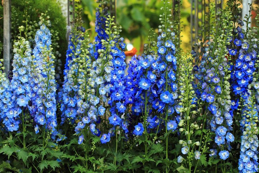 Kwiat bylina ostróżka wieloletnia w czasie kwitnienia, a także uprawa i pielęgnacja w ogrodzie