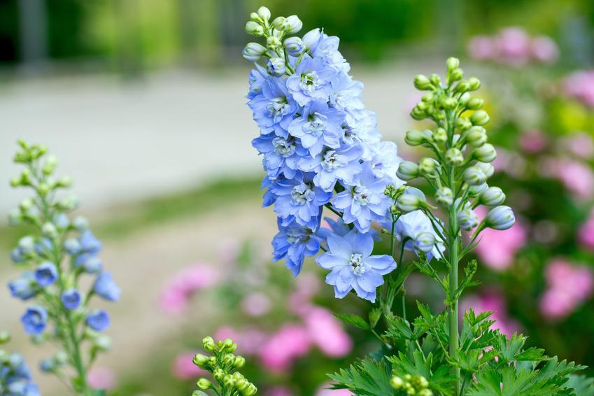 Bylina ostróżka wieloletnia w czasie kwitnienia i zbliżenie na kwiat, a także uprawa i pielęgnacja