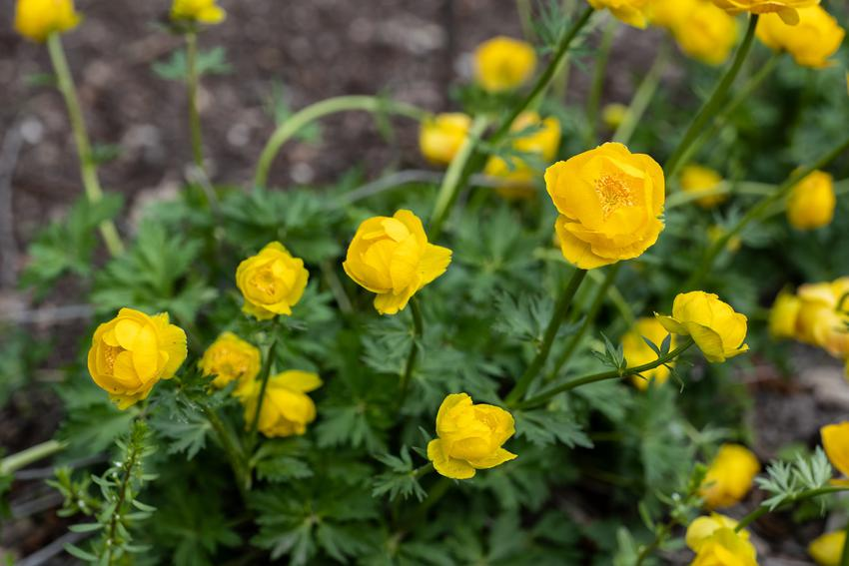 Kwiat bylina pełnik europejski, Trollius europaeus w czasie kwitnienia, a także uprawa i pielęgnacja w ogrodzie