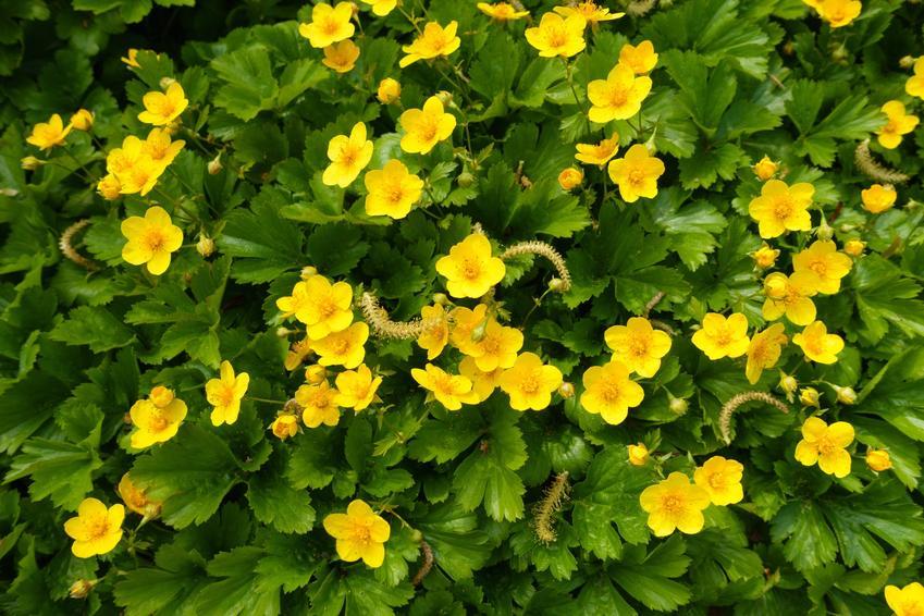 Kwiat bylina pragnia syberyjska, Waldsteinia sibirica w czasie kwitnienia, a także uprawa i pielęgnacja w ogrodzie