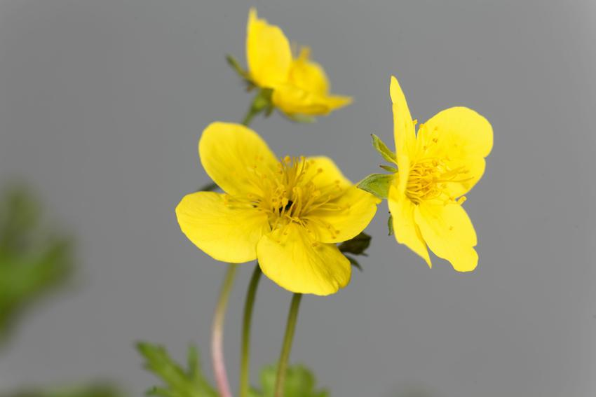 Bylina pragnia syberyjska, Waldsteinia sibirica i zbliżenie na kwiat, a także uprawa i sadzenie