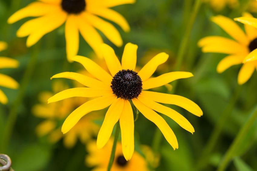 Bylina rudbekia błyskotliwa, Rudbeckia fulgida i zbliżenie na kwiat, a także uprawa i sadzenie