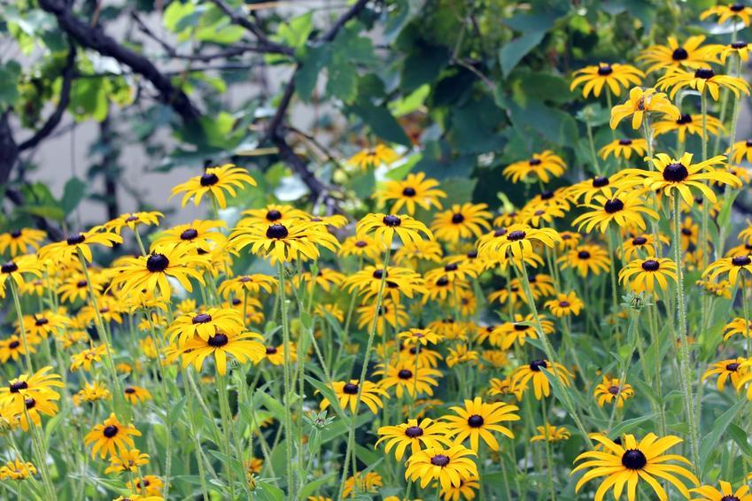 Kwiat bylina rudbekia błyskotliwa, Rudbeckia fulgidaw czasie kwitnienia, a także uprawa i pielęgnacja w ogrodzie