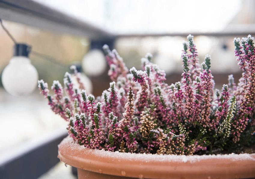 Okrywanie roślin na zimę krok po kroku, a także osłona roślin wrzosowatych przed zmarznięciem oraz zimowanie w ogrodzie
