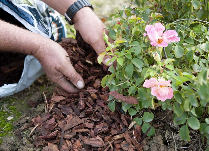 Zabezpieczenie róż na zimę warto zacząc odpowiednio wcześniej, zabezpieczając krzewinki korą, a także inne sposoby zabezpieczania na zimę