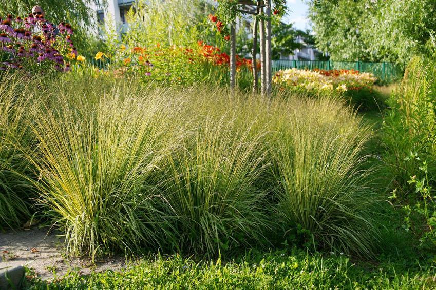 Trzęślica trzcinowata w dużych kępach rosnąca w ogrodzie, a także opis i zastosowanie trzęślicy trzcinowatej, pielęgnacja oraz uprawa