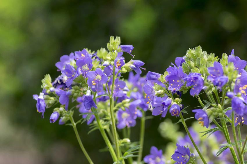 Wielosił błękitny Polemonium caeruleum o niebieskich kwiatach w ogrodzie, a także wymagania, wysiew, pielęgnacja i zastosowanie