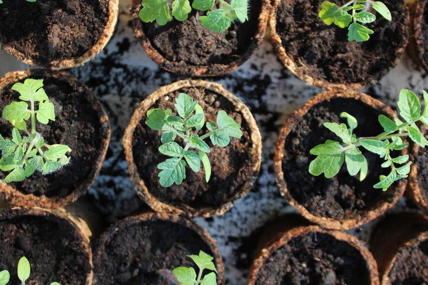 Sadzonki pomidora malinowego uzyskane z nasion, a także informacje o pomidorach malinowych: uprawie, pielęgnacji, zstosowaniu, sadzeniu