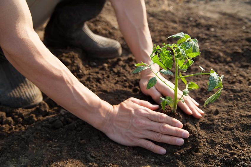 Sadzonki pomidora 'Gargamel' w ogrodzie, a także sadzenie, opis, uprawa, zastosowanie