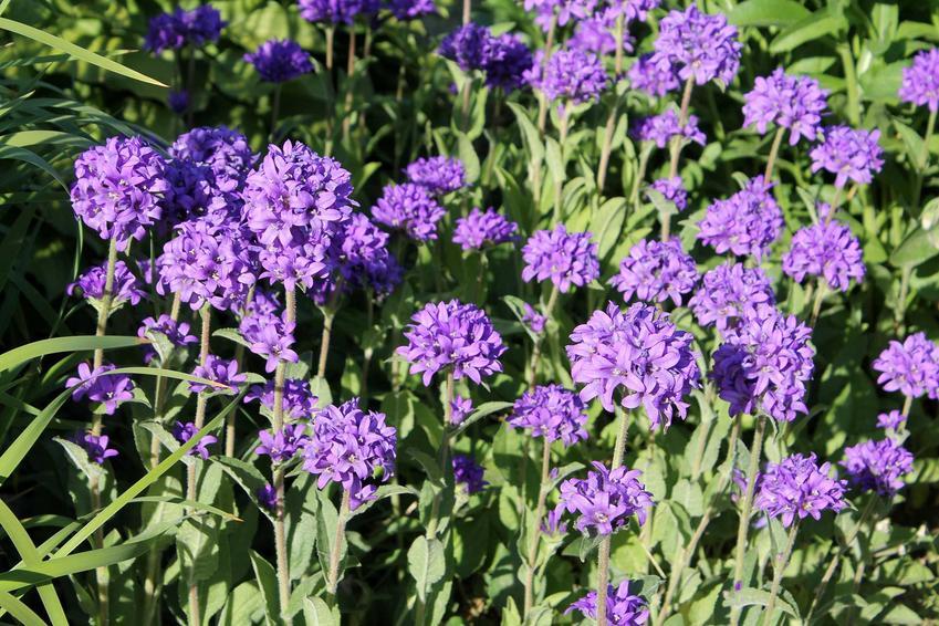 Dzwonki sukpione Campanula glomerata o fioletowych kwiatach w ogrodzie, a także uprawa, pielęgnacja i wymagania gatunku krok po kroku