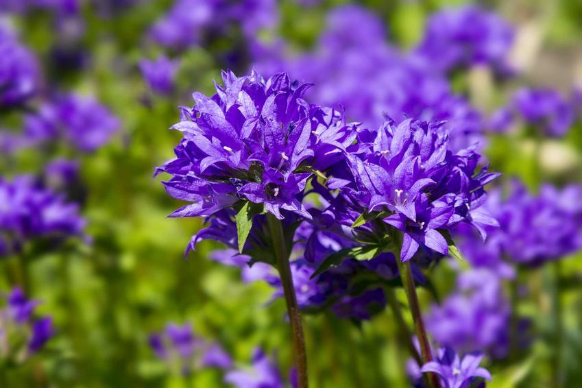 Dzwonek skupiony o intensywnie niebieskich kwiatach w ogrodzie, a także uprawa i pielęgnacja oraz wymagania rośliny