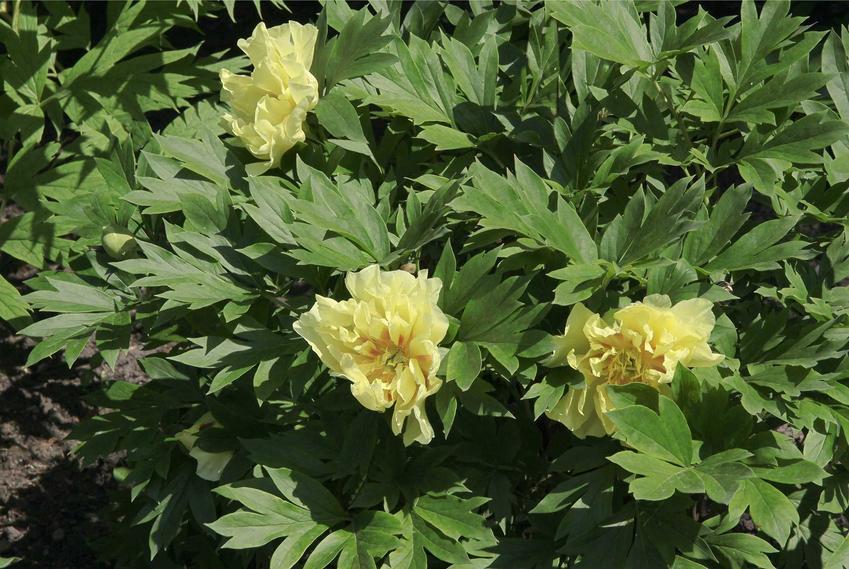 Piwonia japońska o jasnożółtych kwiatach w ogrodzie, a także opis, wymagania, uprawa, pielęgnacja, zastosowanie