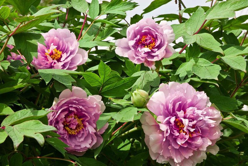 Piwonia japońska o jasnoróżowych kwiatach