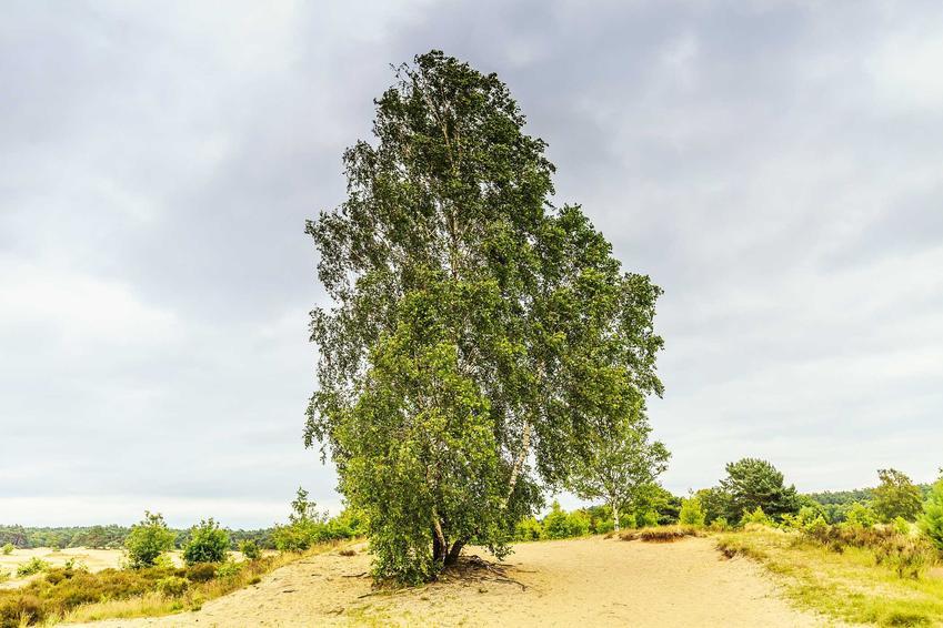 Brzoza ojcowska na ścieżce o ciemnozielonych liściach, a także uprawa, pochodzenie gatunku i pielęgnacja w ogrodzie